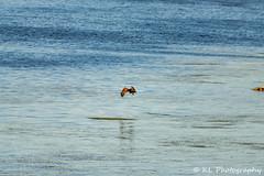Juvenile bald eagle catching supper, St. Lawrence River (jklaroche) Tags: baldeagle lsp longsaultparkway catchingfish fishing juvenile