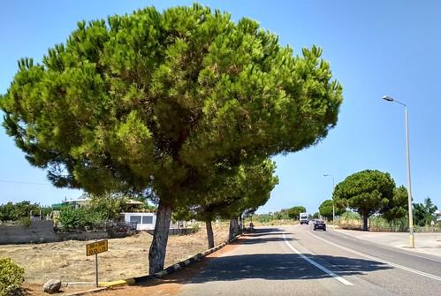 Stone trees alley in Zacharo - Η δενδροστοιχία με τις κουκουναριές στην Ζαχάρω #01