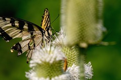 2018  Eastern Tiger Swallowtail (Pterourus glaucus) (DrLensCap) Tags: eastern tiger swallowtail pterourus glaucus weber spur trail labagh woods chicago illinois abandoned union pacific railroad right way rails to trails cook county forest preserve district preserves robert kramer