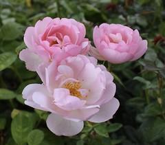 Rose - Skylark (MJ Harbey) Tags: flower rose rosa rosaceae davidaustin shrubrose garden plant rosegardenkew kewgardens london royalbotanicgardenskew unescoworldheritagesite skylarkrose nikon d3300 nikond3300