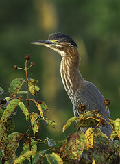 Green Heron (Joseph M. Campbell) Tags: bombayhooknwr delaware nature wildlife