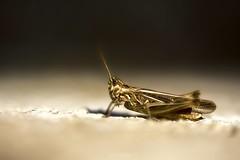 Aire de repos (David Bertholle) Tags: cricket macro makro nature sigma ngc dof bokeh insect nikon d7200
