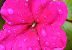 DSC_1533 Busy Lizzie (PeaTJay) Tags: nikond750 sigma reading lowerearley berkshire macro micro closeups gardens outdoors nature flora fauna plants flowers busylizzie