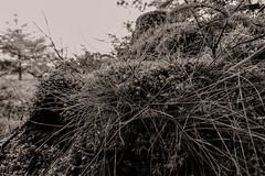 Forest floor (torlind54) Tags: sævelandsvik rogalandkarmøy norge seavelandsvik karmøykommune karmoeymunicipality rogalandfylke rogalandcounty norway nrkrogaland visitnorway naturephotography naturfotografi naturephotographer naturfotograf nature natur sonya77mkii sony sonyphotography sonyfotografi sonyphotographer svartoghvitt blackandwhite sonyalphaphotographer strå straw mose moss