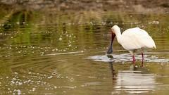 Bill of the spoonbill (Nagarjun) Tags: africanspoonbill bird avifauna birdlife lake wildlife nairobinationalpark kenya plataleaalba