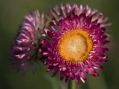 Cherchez la petite bête (Titole) Tags: pink chinaaster asterdechine orange insect tiny titole nicolefaton