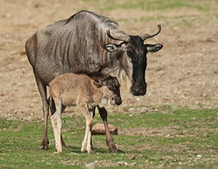 gnu Burgerszoo JN6A2575 (j.a.kok) Tags: gnu wildebeest wildebeast gnoe animal antilope africa afrika herbivore mammal zoogdier dier burgerszoo burgerzoo moederenkind motherandchild