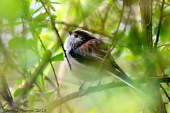 Long Tailed Tit (CJT29( not enough hours in the dayl)) Tags: hampshire cjt29 outdoors longtailedtit garden gardenbirds northbaddesley throughglass bird birds aegithaloscaudatus