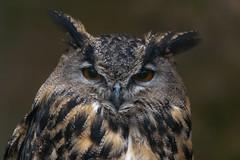 silent hunter - stiller Jäger (ralfkai41) Tags: ngc eule portrait eagleowl bird owl zoo vogel portät nature tierpark tier uhu bubobubo natur sababurg