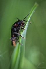 Top of the Leaf (Jan Fenkhuber Photography) Tags: macro photography grass bug leaf blackanimalbuggrassinsectmacroplant