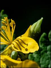 L'Ombre des étamines (didier_chantal49) Tags: ombre etamine fleurs jaune flore nature
