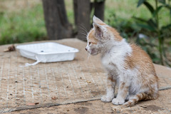 2018/07/09 18h23 chat de la rue Sefrou (Rabat) (Valéry Hugotte) Tags: 24105 maroc rabat canon canon5d canon5dmarkiv cat chat chaton gatos katze kitten quartierhassan ruesefrou rabatsalékénitra ma