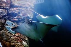 Rochen (Michael Döring) Tags: niederlande arnheim burgerszoo ocean ozean rochen afs105mm14e d850 michaeldöring