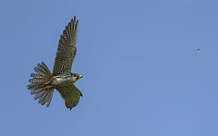 Spectacular Falcon (and dragonfly)., Unbelievably (or is it!) the Hobbies biggest problem comes in human form (Ann and Chris) Tags: avian amazing awesome bird dragonfly flying gorgeous hunting hunt impressive hobby predator prey raptor falcon fast stunning wild