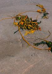 seaweed arrangement (Francis Mansell) Tags: beach sand seashore water ripple seaweed cornwall crackingtonhaven crackington nikanalogefexpro2 plant