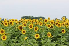 Field of sunflowers (pegase1972) Tags: québec qc canada fleur flower flora nature summer tournesol sunflower field