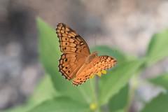Euptoieta claudia (fabriciodo2) Tags: euptoietaclaudia papillon mariposa macro nature sigma150 mexique routepuuc