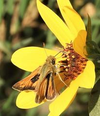 Fiery Skipper at the Yolo Bypass. (Ruby 2417) Tags: skipper firey yellow butterfly insect wildlife nature yolo davis wetland marsh fiery