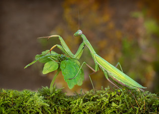 Praying Mantis - Stagmomantis limbata (f)