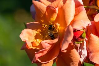 Wespe/Blume