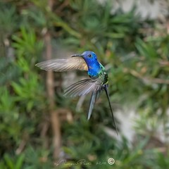 _DSC0387 (Roger Hummingbirds) Tags: animal nature bird birds colibri wildlife hummingbird wings flight feeder flower nectar south america rain forest color colorful colour fly flying spread blue green delicate flora floral beauty inflight ornithology wild brazil beijaflor tesourinha kolibrie feathers outdoor verde azul natureza do sul vôo voando delicado flores