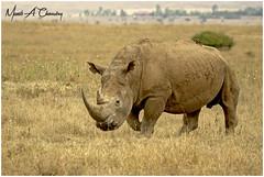 World Rhino Day 2018! (MAC's Wild Pixels) Tags: worldrhinoday2018 whiterhino rhinoceros squarelippedrhinoceros ceratotheriumsimum endangeredspecies criticallyendangered horn poaching animal wildlife africanwildlife wildafrica wildanimal wildlifephotography safari gamedrive outdoors outofafrica savannahplains kenya macswildpixels alittlebeauty coth specanimal coth5 ngc npc fabuleuse