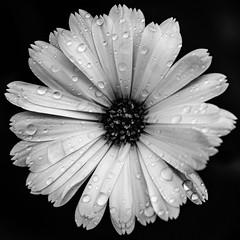I Don't Belong (Nicholas Erwin) Tags: flower dark waterdrop droplets waterdroplets contrast rain blackandwhite monochrome bw mono square squareformat squarecrop lowkey nature natural outdoors outside sad depression closeup fujifilmxt2 fujixt2 fujifilm fuji xt2 xf60mmf24rmacro xf60 6024 fujixf6024 waterbury vermont vt unitedstatesofamerica usa america marigold potmarigold fav10 fav25