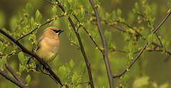 Cedar Waxwing..... (Kevin Povenz Thanks for all the views and comments) Tags: 2018 may kevinpovenz westmichigan michigan ottawa ottawacounty ottawacountyparks grandravinesnorth bird songbird tree nature wildlife canon7dmarkii sigma150500