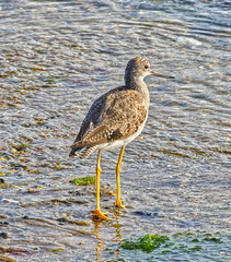 Greater Yellowlegs in Provincetown (piranhabros) Tags: provincetown capecod bird marshpiper sandpiper greateryellowlegs yellowlegs tringamelanoleuca