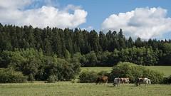 Un tour à la campagne (Titole) Tags: cows firtree firtrees clouds fields countryside jura titole nicolefaton