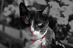 Mon Ratatouille (Diegojack) Tags: vaud suisse echandens chats ratatouille portrait d500 noirblanc partiel nikon nikonpassion