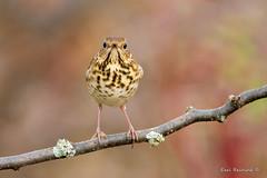 Feeling bug-eyed (Earl Reinink) Tags: bird sautumn fall nature wildlife photography thrush hermit hermitthrush eyes earl reinink earlreinink aaddaadaoa