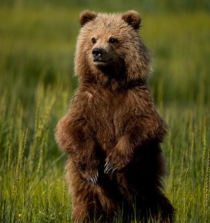 2018 Lake Clark National Park- Bears Standing Up (20)