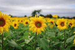 Field of Dreams (Dee McEvoy) Tags: sunflower field portglenone countyantrim ireland
