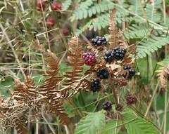 Blackberries growing among ferns (Monceau) Tags: blackberries growing ferns dried alongthetrail macro seasonalfruit odc