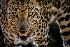 """Retrato de un jaguar"" (Alyaz7) Tags: nikond7200 lentenikonnikkorafs200500mm156eedvr rawquality zoofarimorelos safari zoo animal naturaleza nature felino jaguar hermoso beautiful mirada look retrato portrait animalphotography mexico fotografíaanimal poder power fuerte strong alyazphotography"