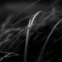 Marshland Grasses 060 (noahbw) Tags: d5000 dof middleforksavanna nikon abstract blackwhite blackandwhite blur bw depthoffield grass light marshland minimal minimalism monochrome natural noahbw prairie quiet shadow square still stillness summer wetlands