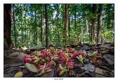 Pluie de fleurs dans la forêt (Laurent Asselin) Tags: fleurs flowers arbres trees forêt forest nature guyane
