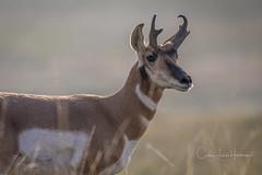 Antelope ~ Badlands National Park (crziebird) Tags: antelope badlands nps nationalpark national park southdakota dakota