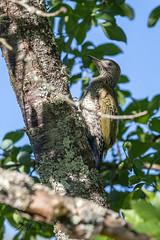 Pic-vert (sfrancois73) Tags: oiseau jardin affût faune drinkstation picvert