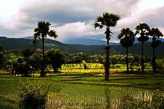 "Chiang Mai Province. (ol'pete) Tags: weather อากาด august สิงหาคม จ้งหวัดเชียงใหม่ chiangmaiprovince จอมทอง chomtong ชนบท countryside ดอยหล่อ doilo ทุ่งนา farm fields ประเทศไทย thailand เมืองไทย ""canoneos350d"" ""efs1855mm"" palms rice paddy earthasia"