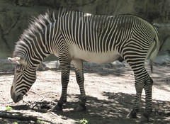 Chicago, Lincoln Park Zoo, Grevy's Zebra (Mary Warren 11.3+ Million Views) Tags: chicago lincolnpark zoo nature fauna mammal stripes grevyszebra