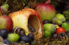 wild garden mouse inside a apple (3) (Simon Dell Photography) Tags: wild garden house mouse nature animal cute funny fun moss covered log pile acorns nuts berries berrys fuit apple high detail rodent wildlife eye ears door home sheffield ul old english country s12 simon dell photography