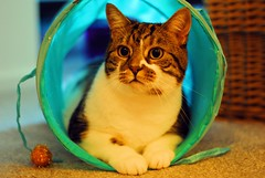 Brian in his tunnel (zawtowers) Tags: brian cat feline kitty cute adorable pet looking play tunnel blue waiting playing ball posing
