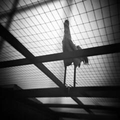 Flown the Coop (LowerDarnley) Tags: holga oregon northwest tillamook chicken coop