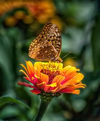 ...Crush (Portraying Life, LLC) Tags: dbg6 da3004 hd14tc k1mkii michigan pentax ricoh unitedstates butterfly closecrop handheld nativelighting skipper hiddenlakegardens meadow zinnia garden