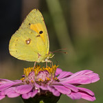 Clouded Yellow thumbnail