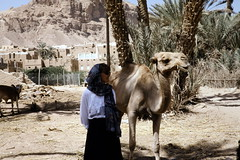 Camel (actually a dromedary) (motohakone) Tags: jemen yemen arabia arabien dia slide digitalisiert digitized 1992 westasien westernasia ٱلْيَمَن alyaman