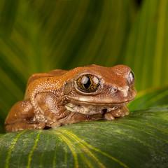 Golden Tree Frog (Les Cornwell Photos) Tags: wildlife studio flash wex frog goldentreefrog reptile macro captive