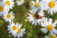 small copper from above (Bart Hardorff) Tags: 2018 barthardorff herwijnen thenetherlands butterfly vlinder gelderland nederland nl smallcopper kleinevuurvlinder vuurvlinder bloem